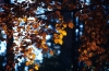 Beech canopy in the fall, Thornley Forest, Tyne and Wear, England