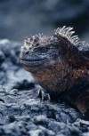 Vertical shot of a Marine Iguana on volcanic shoreline rocks in the Galapagos Islands