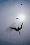 Frigate birds circle into the sun in the Galapagos Islands