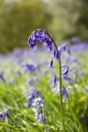 Bluebells in Newton Woods, Roseberry Topping near Great Ayton North York Moors