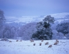 Sheep feed in winter snows in the parkland of Ridley Hall, Northumberland, England