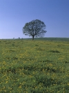 Lone tree and spring flower meadow, Northumberland